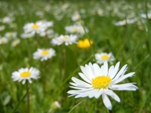 daisies-364737_1280